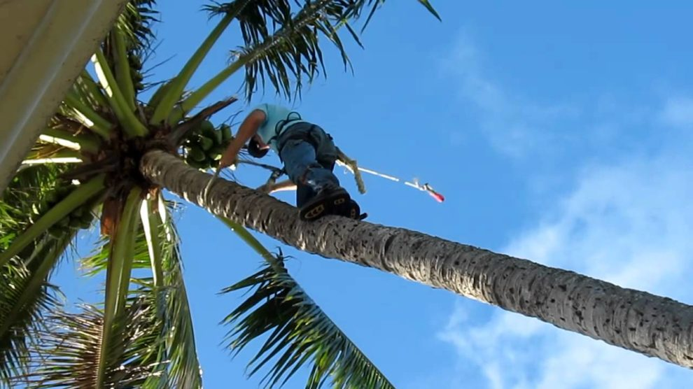 Palm-Tree-Trimming-San Bernardino Tree Trimming and Stump Grinding Services-We Offer Tree Trimming Services, Tree Removal, Tree Pruning, Tree Cutting, Residential and Commercial Tree Trimming Services, Storm Damage, Emergency Tree Removal, Land Clearing, Tree Companies, Tree Care Service, Stump Grinding, and we're the Best Tree Trimming Company Near You Guaranteed!